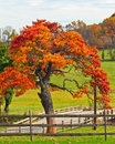 Oak Tree in Fall Royalty Free Stock Photo