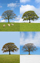 Oak Tree in Four Seasons Royalty Free Stock Photo