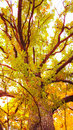 Oak tree glowing at sunset light Royalty Free Stock Photo