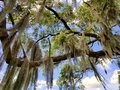 An oak tree with hanging moss by the lake near Heritage Park, Winter Haven, Florida, U.S.A Royalty Free Stock Photo