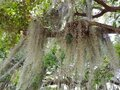 An oak tree with hanging moss plant Royalty Free Stock Photo