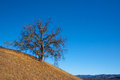 Oak tree on hillside golden colored growing a overlooks mountains in southern california Stock Photography
