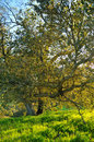 Oak tree lit by the sunset Stock Images