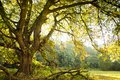 Oak tree and meadow Royalty Free Stock Photo