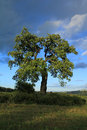 Oak tree old with dramatic sky Royalty Free Stock Photos