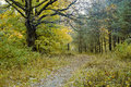 Oak tree and the path in the autumn forest Royalty Free Stock Image