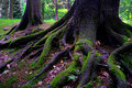Oak tree after rain Stock Photos