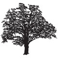 Oak tree silhouette with leaves in the black-and-white vector image