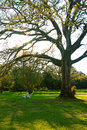 Oak tree in the spring Royalty Free Stock Photo