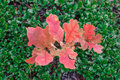 Oak tree sprout with red leaves in green bootlicking moss Royalty Free Stock Photo