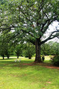 Oak tree in the summer Royalty Free Stock Image