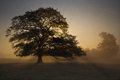 Oak tree  sunrise Royalty Free Stock Photo