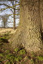Oak tree trunk Stock Photography