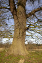 Oak tree trunk Stock Photo
