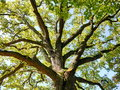 Oak tree trunk top in nature background Stock Photos