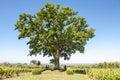 Oak tree between vineyard in Tuscany, Italy. Oak tree of winery Ornellaia Royalty Free Stock Photo