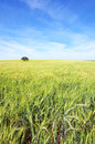 Oak tree in a wheat field Royalty Free Stock Photo