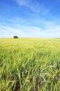 Oak tree in a wheat field Royalty Free Stock Photo