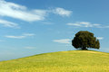 Oak tree in wheat field single standing a tuscan on a hill Royalty Free Stock Photos