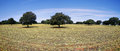 Oak trees in extremadura spain Royalty Free Stock Photo