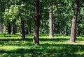 Oak trees in summer green grassy park Royalty Free Stock Photo