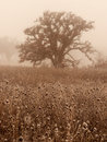 Oak trees in winter fog white a woods on a foggy day Royalty Free Stock Images