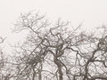 Oak trees in winter fog white a woods on a foggy day Stock Photo
