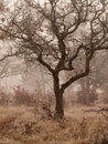 Oak trees in winter fog white a woods on a foggy day Royalty Free Stock Photography