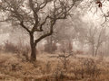 Oak trees in winter fog white a woods on a foggy day Stock Image