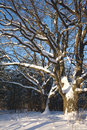 Oak trees in winter wood Royalty Free Stock Image