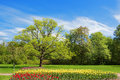 Oak and tulips in spring park bed with Stock Image