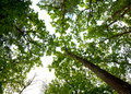 Oak woods canopy Royalty Free Stock Images