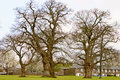 Oaks in winter a group of bare oak trees Stock Images