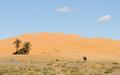 Oasis in morocco the dunes of the moroccan desert near the village of merzouga Royalty Free Stock Photo