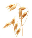 Oat ears of grain isolated Royalty Free Stock Photo