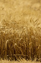 Oat field Royalty Free Stock Image