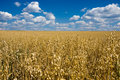 Oat field and blue sky Royalty Free Stock Photography
