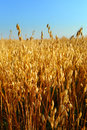 Oat field golden ears of on the Royalty Free Stock Photography