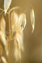 Oat field golden ears of on the Royalty Free Stock Photos