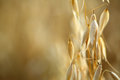 Oat field golden ears of on the Royalty Free Stock Images