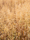 Oat field with morning dew Royalty Free Stock Images