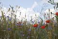 Oat field with poppies and cornflowers Royalty Free Stock Photo