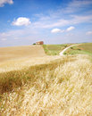 Oat field in Tuscany Royalty Free Stock Images