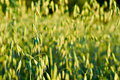 Oat grains in the field. Full frame of green plants. Natural corn growing up. Royalty Free Stock Photo