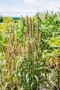 oat plant Royalty Free Stock Photo