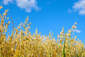 Oats field of against the sky Stock Image