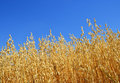 Oats field with blue sky Royalty Free Stock Photos