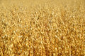 Oats field in summer close up Royalty Free Stock Photo