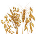 Oats rye and wheat isolated on white Royalty Free Stock Photos