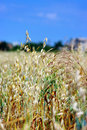 Oats in summertime Royalty Free Stock Photo
